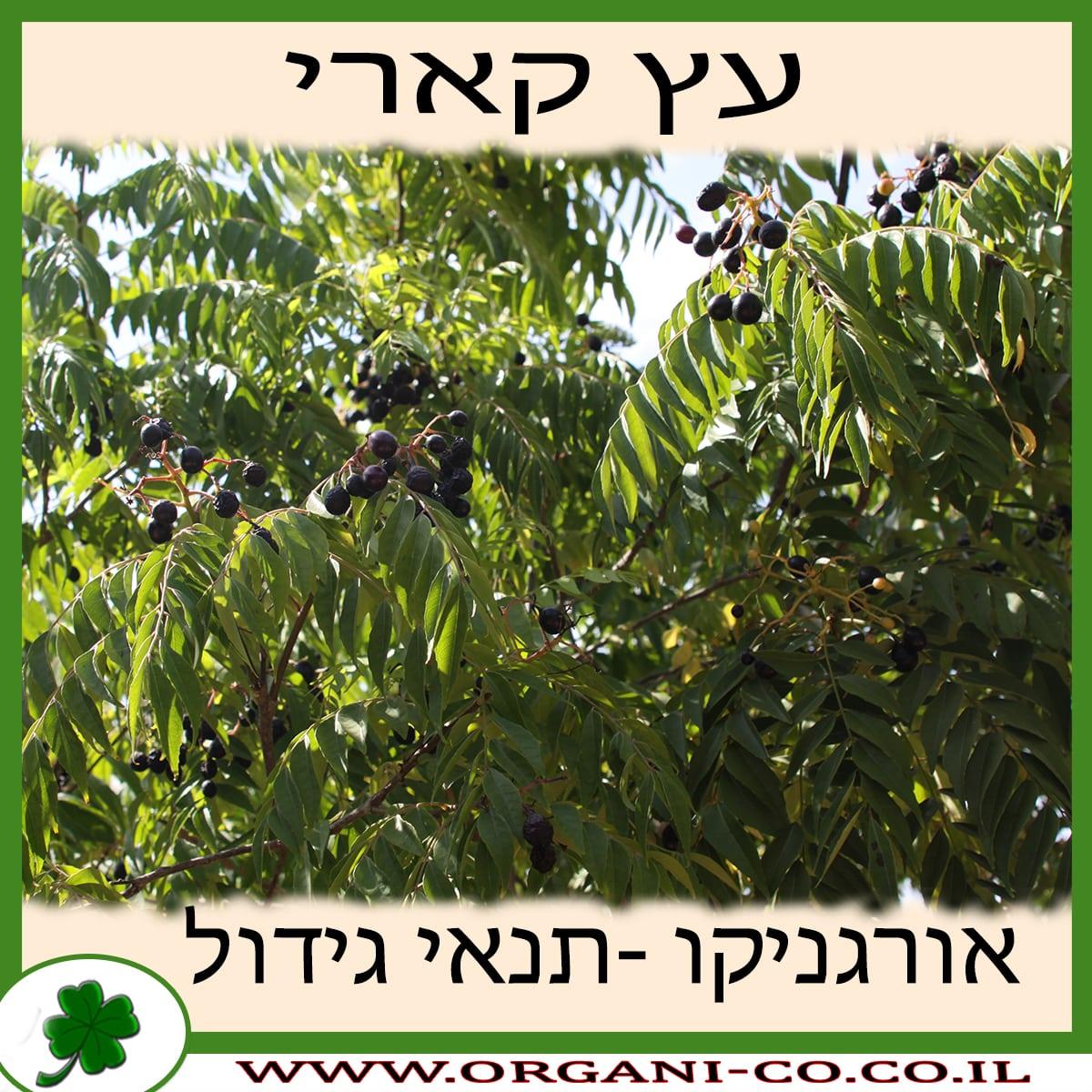 עץ קארי - תנאי גידול