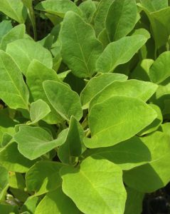 חציל צמח גידול מזרע