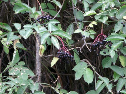 סמבוק גידול צמח