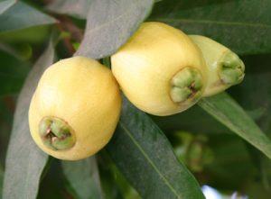 תפוח הורד גידול עץ