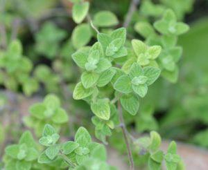 זעתר צמח גידול עלים