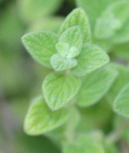 זעתר צמח גידול עלים למאכל
