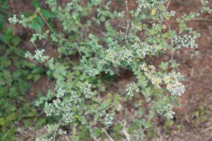 זעתר צמח גידול