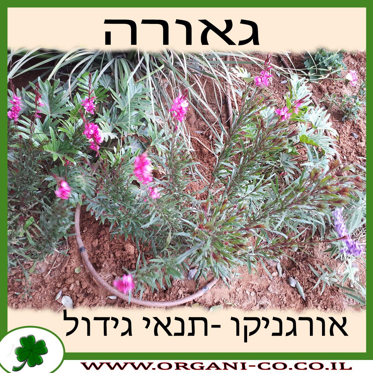 גאורה גידול צמח