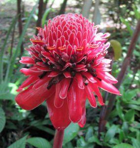 ג'ינג'ר צמח גידול פרח