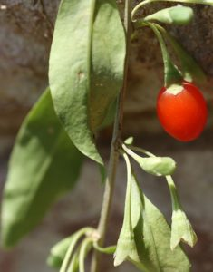 גוג'י גידול פרי