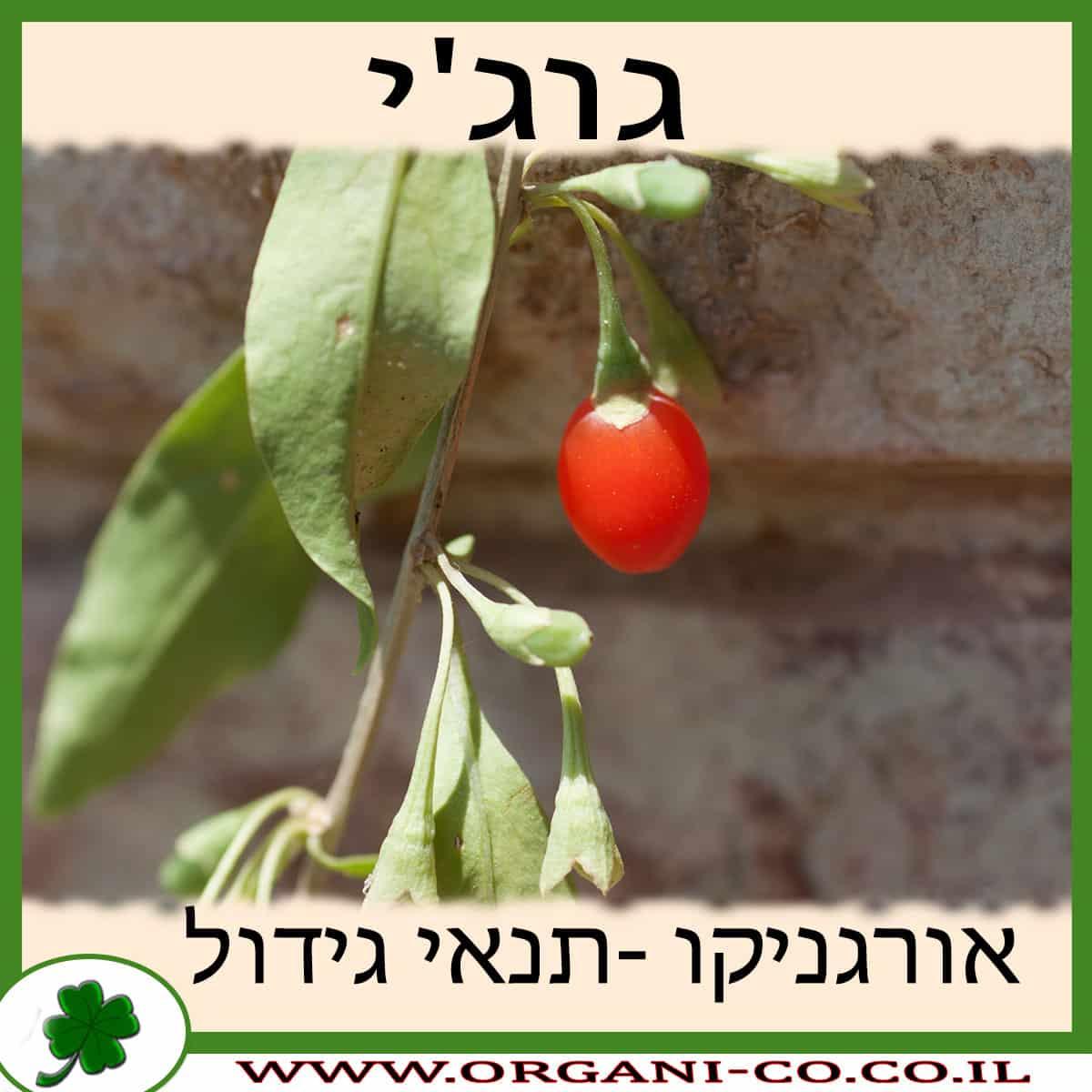 גוג'י גידול צמח