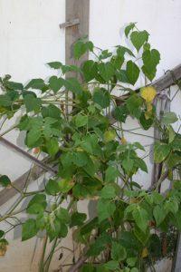 שלפח צמח גידול לפרי