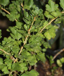 חזרזר צמח גידול