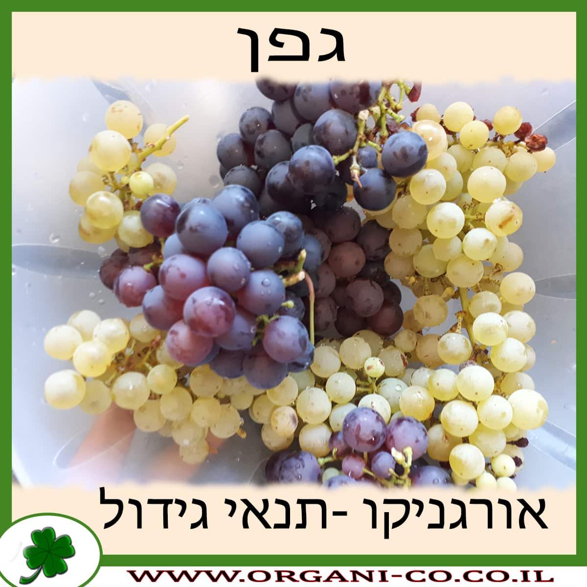 גפן - ענבים - תנאי גידל