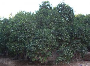 אשכולית גידול עץ