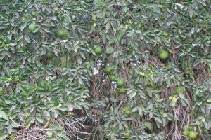 אשכולית צמח