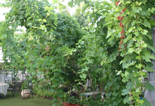 ענבים גפן גידול צמח