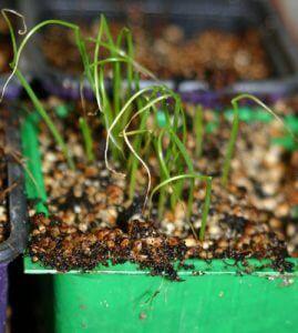 בצל ירוק גידול מזרעים