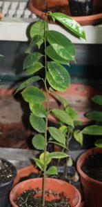 גואנבנה - גרביולה צמח