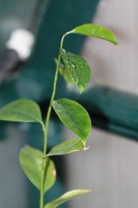 גואנבנה - גרביולה צמח גידול מזרע