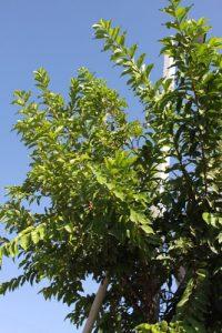 גויאבה עץ גידול
