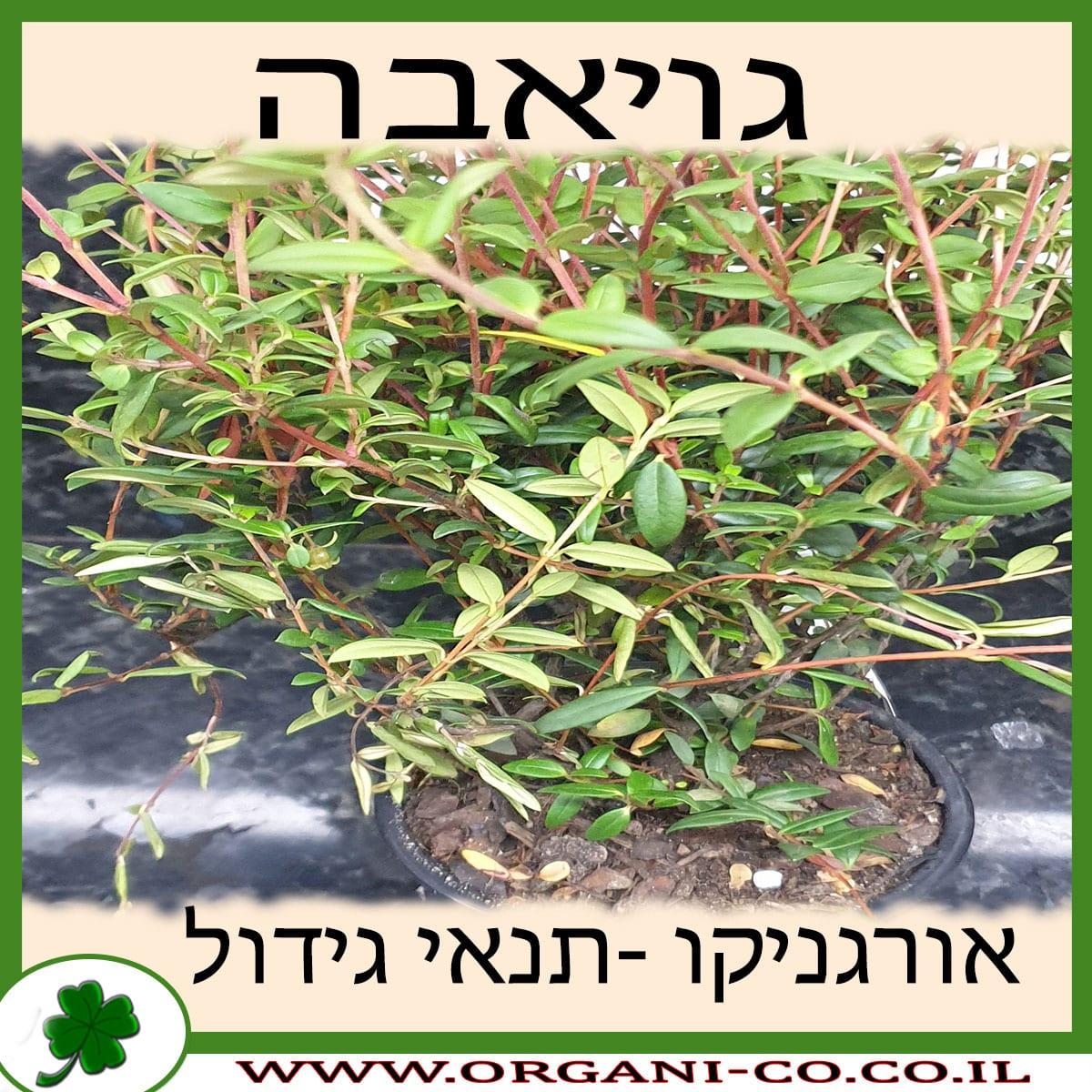 גויאבה גידול צמח