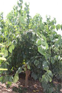 עץ תות ארוך גידול צמח