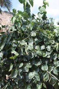 תות עץ ארוך פקיסטיני