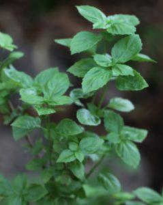 צמח ריחן קדוש גידול עלים