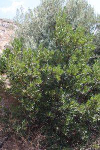 קטלב משונן עץ תות