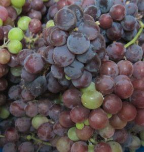 גפן איזבלה פירות