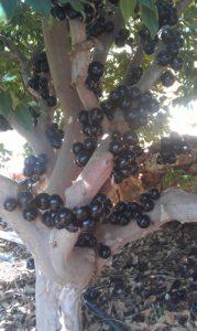 ג'בוטיקבה עץ פרי גידול