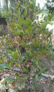 ג'קפרוט צמח גידול עץ