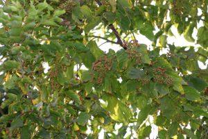 פרי צימוקים יפניים גידול
