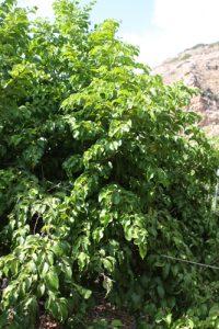 קטמבילה עץ גידול