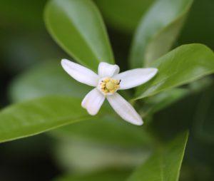 קומקווט עץ גידול פרחים