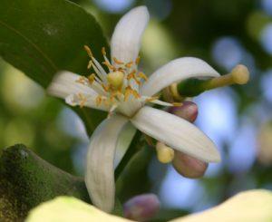 קומקווט עץ גידול פרח