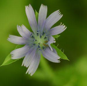 פרח חסה