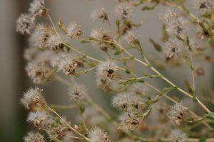 זרעי חסה