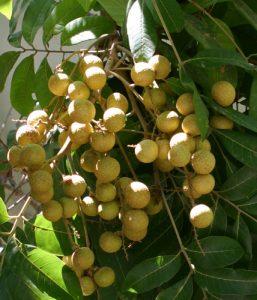 גידול עץ לונגן פרי