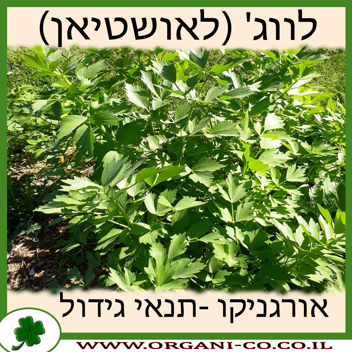 לווג' (לאושטיאן) גידול צמח