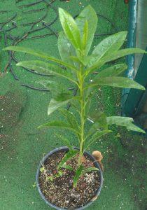 עץ לוקומה