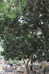 גידול פרי לוקומה