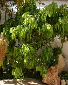 ליצ'י גידול עץ