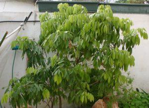 ליצ'י גידול עץ מזרע