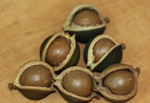 מקדמיה אגוזים גידול עץ