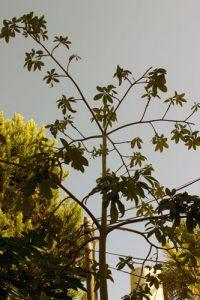 אגוז מלבר עץ גידול