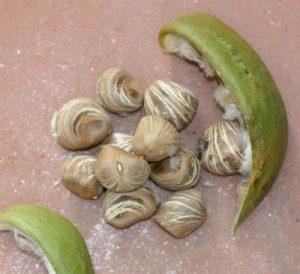 אגוז מלבר עץ גידול צמח