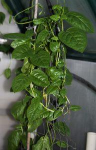 תרד מלאבר גידול צמח