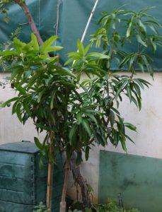 עץ מנגו גידול צעיר