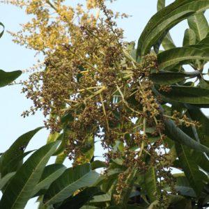 מנגו פרחים גידול