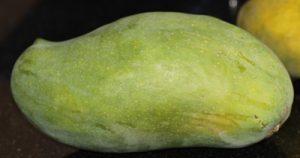 עץ מנגו גידול גילור