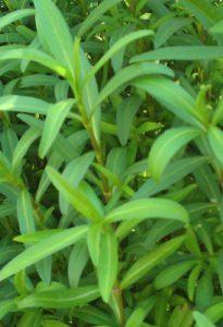טרגון ארבע העונות צמח גידול