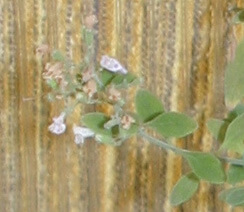 זוטה לבנה צמח גידול עלים